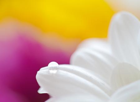 Mums flowers colorful macro background photo