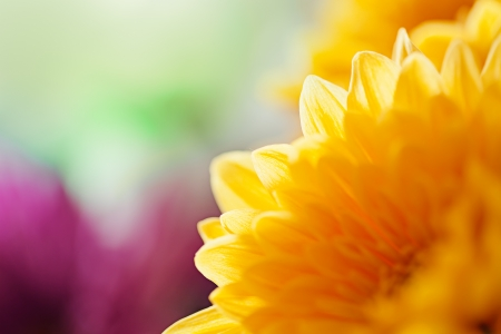 Mums flowers colorful macro background Stock Photo