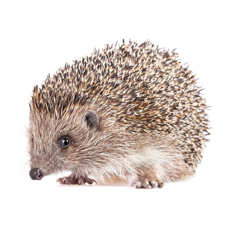Cute wild hedgehog isolated Stock Photo