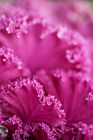 flowering kale: Bright pink cabbage leafs closeup macro background Stock Photo