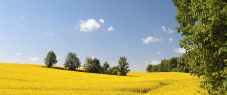rapeoil: Yellow field rape in bloom with blue sky and white clouds  Stock Photo