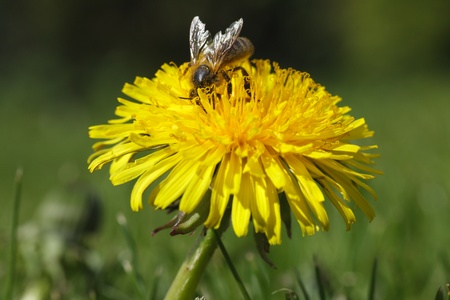Meadow with yellow dandelion - honey bee photo