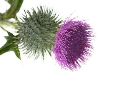 Single thistle flower isolated on white background  Stock Photo - 8915826