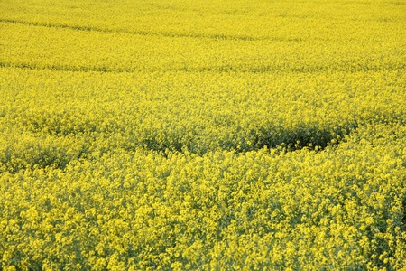 rapeoil: Yellow field rape in bloom with - background