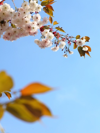 Cherry blossom in blue sky and sun. Nature  photo
