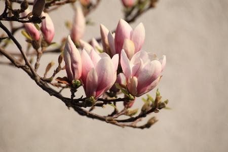 magnolia flowers outdoor nature bloom