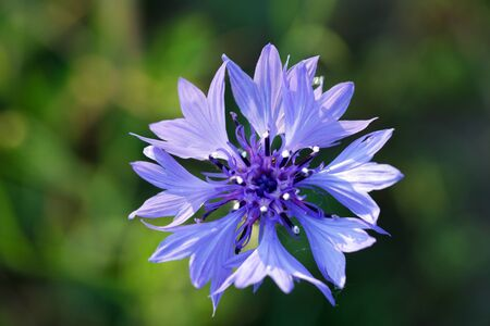blue single cornflower on green cereal's background Stock Photo - 10558114