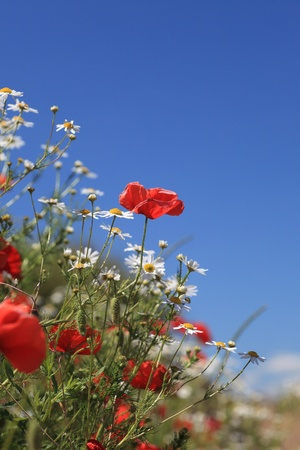 Summer landscape with wheat field and poppies flowers, blue sky Stock Photo
