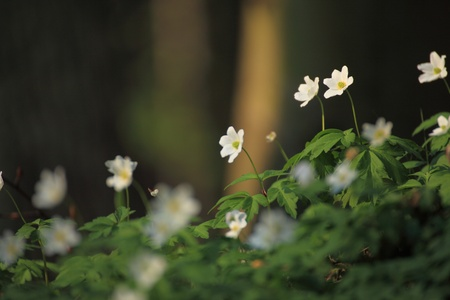 windflower: windflower, anemone Forest in the springtime Stock Photo