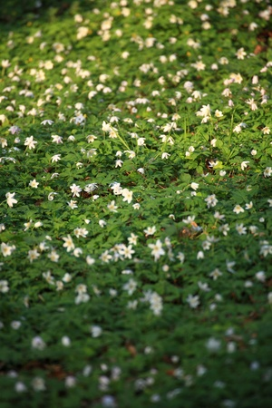 windflower, anemone Forest in the springtime Stock Photo - 10641468