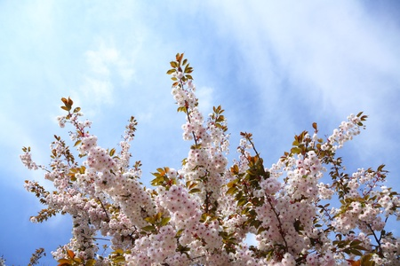 Cherry blossom in blue sky and sun. Nature  Stock Photo