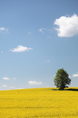 Yellow field rape in bloom with blue sky and white clouds  photo