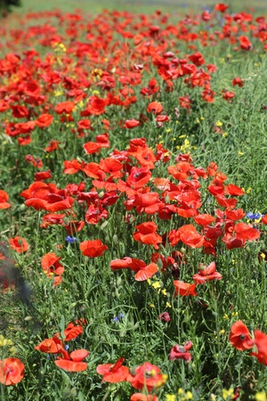Summer landscape with wheat field and poppies flowers Stock Photo - 11283197