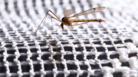 Mosquito (Culex pipiens) sitting on the net Stock Photo