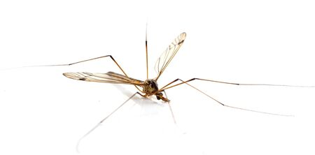 daddy long legs, mosquito nephrotoma scalaris on white background photo