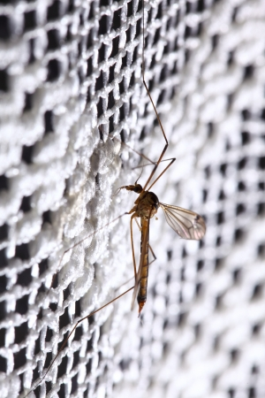 Mosquito (Culex pipiens) sitting on the net photo