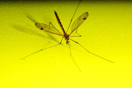 daddy long legs, mosquito nephrotoma scalaris yellow background Stock Photo - 14948559