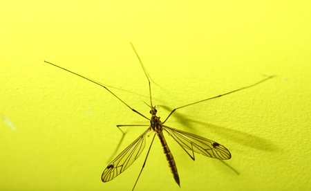 daddy long legs: daddy long legs, mosquito nephrotoma scalaris yellow background