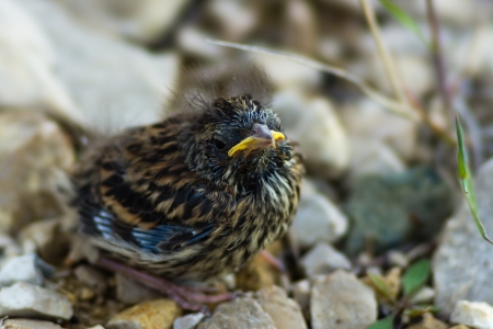 the yellow-beaked baby bird of a sparrow sits on stones