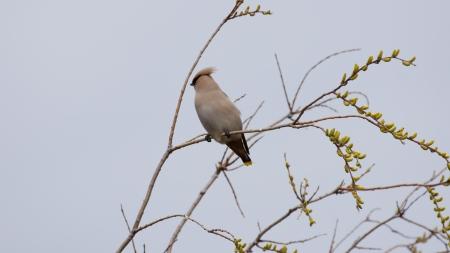 the female of a songbird sviristel sits on a branch Stok Fotoğraf