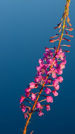 Flower Willow-herb close up against dark blue water photo