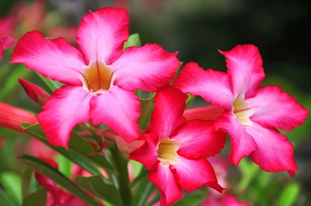 Red Desert Flower, adenium obesum photo