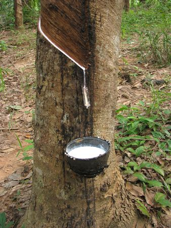 Latex flows from para rubber tree Stock Photo