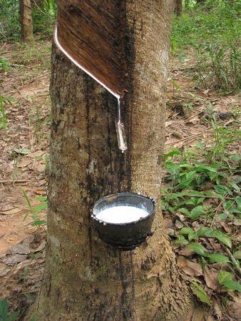 Latex flows from para rubber tree Archivio Fotografico
