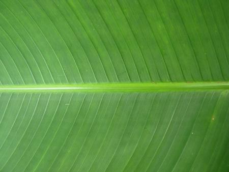 Background of closeup texture banana green leaf