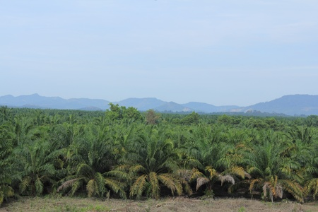 Agriculture of palm oil plantation in Malaysia