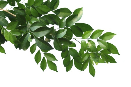Branch of China box-tree isolated on white background