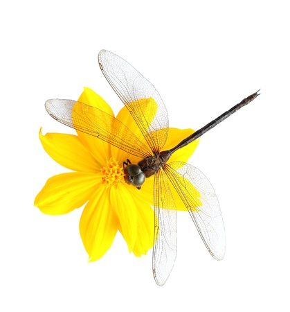 Dead dragonfly on flower isolated on white background