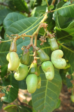 cashew: Cashew nuts growing on tree at Thailand