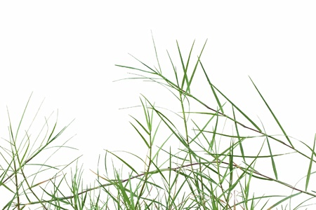 Bermuda grass or Cynodon dactylon isolated on white background Stock Photo