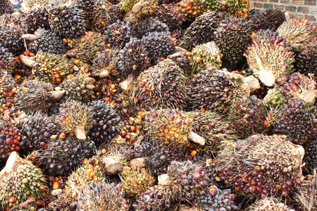 Background of Palm Oil Fruits on the floor at Thailand Stock Photo - 9739976