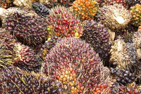 frutas tropicales: Fondo de frutos de Palma de aceite en el piso en Tailandia Foto de archivo