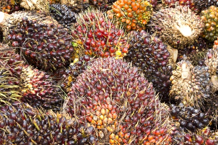Background of Palm Oil Fruits on the floor at Thailand Archivio Fotografico
