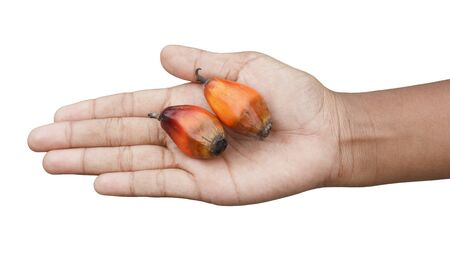Oil palm fruits in Thai woman hand isolated on white background Stock Photo - 10218527
