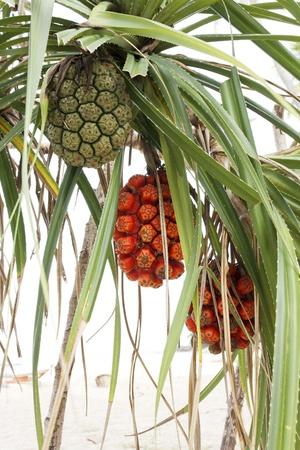 pandanus: Pandanus tree or Pandanus tectorius or Pandanus odoratissimus is tropical tree grow in mangrove forest and beach Stock Photo