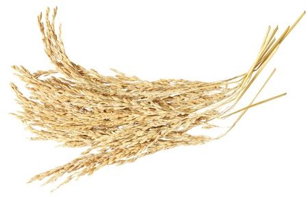 arroz blanco: Oreja de arrozal aislada sobre fondo blanco