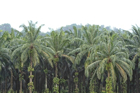 Palm Oil Plantation in Malaysia Stock Photo - 11221200