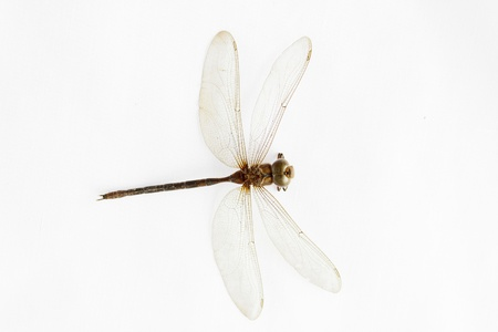 Top view of dead dragonfly on white background