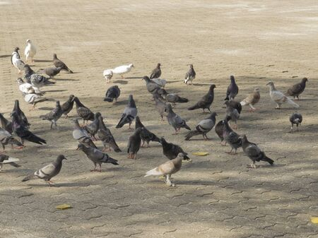 Group of pigeons social in the park of Thailand Stock Photo - 11676909