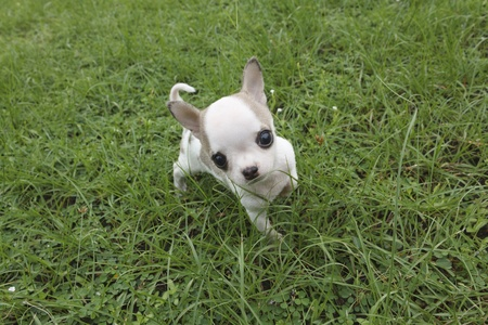 Puppy chihuahua walking at the grass Stock Photo - 11676878