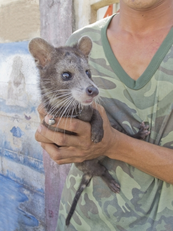 Thai military holding yong male civet luwak, an animal making most expensive in world of the coffee