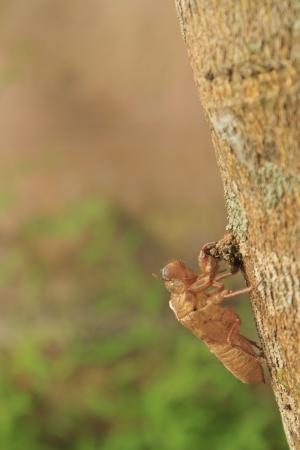 molting: Empty cicada shell, Cicada molt on tree Stock Photo