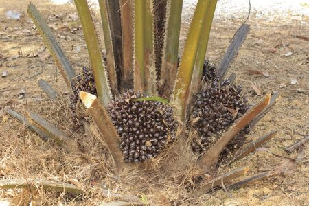 Oil palm fruits on tree photo