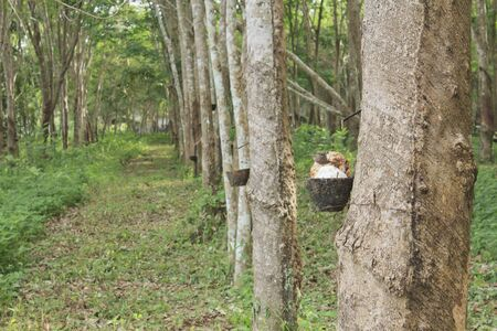Rubber plantation in the southern, Thailand photo