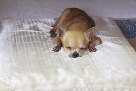 Chihuahua resting on bed photo