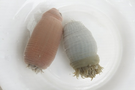 Sea Anemone, species of flower-like sea animal (Actiniaria) Stock Photo - 14571450